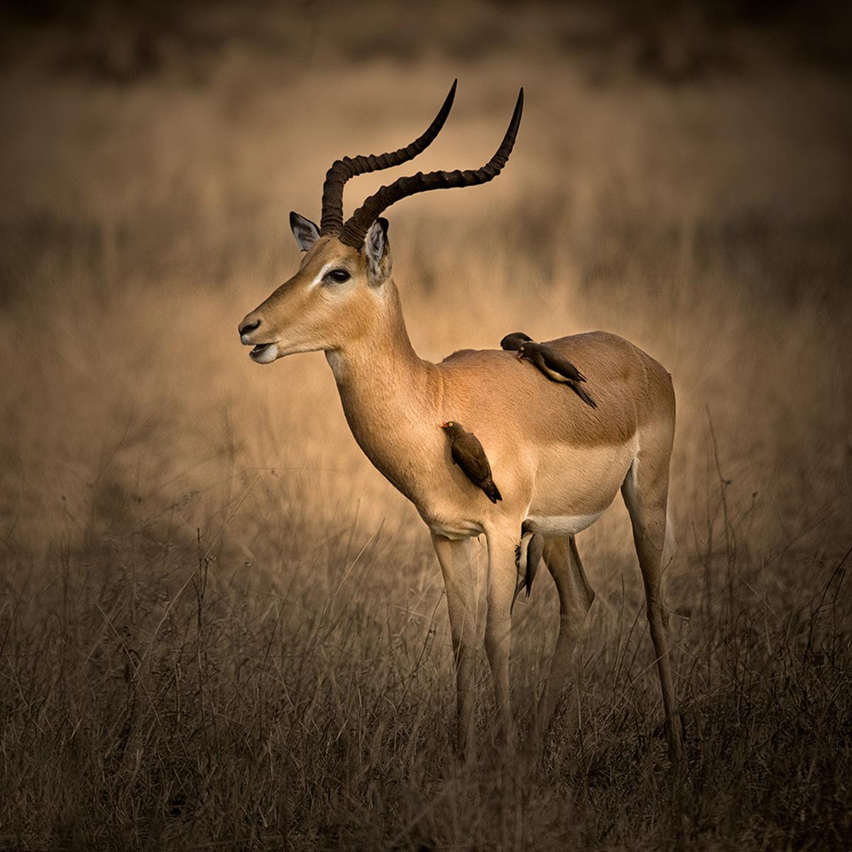 Impala - Colin Ross - Catchlight.jpg