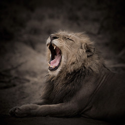 AFR - lion 1.jpg