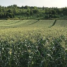 トウモロコシ畑1.JPG