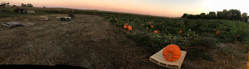 pumpkins sunsets panorama.jpg