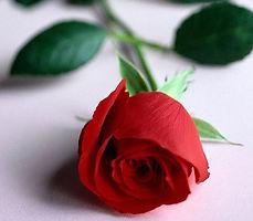 single-rose2-00002.jpg
