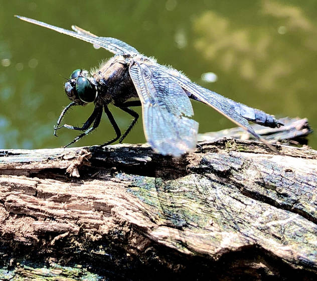 Pausing dragon-fly