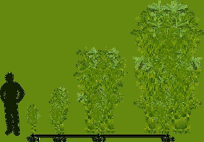 Bamboo Grow Chart