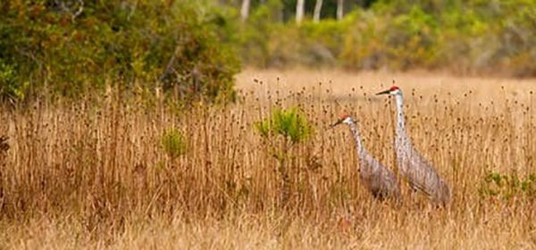 Image of 2 Whooping Cranes