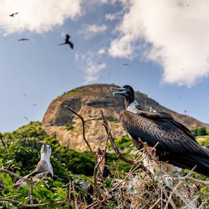 ninhal de Fragatas, Arquipélago dos Alcatrazes. 2018