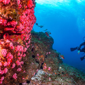 Laje de Santo, 2014. Mergulhador olhando para uma parede de pedra incrustada  com espécie invasora Coral Sol