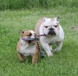 Pelee Bulldogs | Champion Bulldog Breeder Ontario Canada