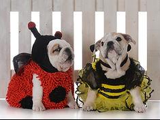 English Bulldog Puppies Ontario