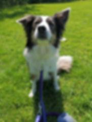 DFC Dog Training Delta Border Collie 1.j