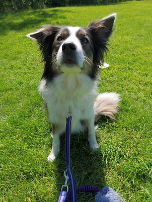 DFC Dog Training Delta Border Collie 1.j