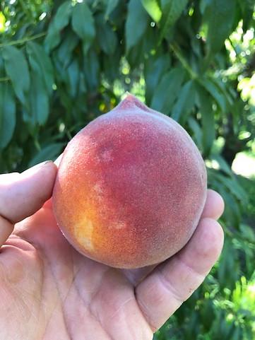 Sierra Rich Yellow Peach