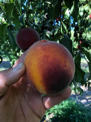 Summer Flame Yellow Peach