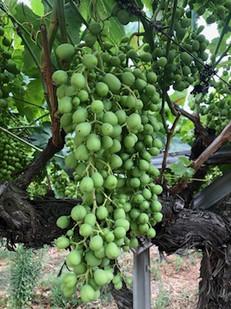 Crunchy Seedless Grapes