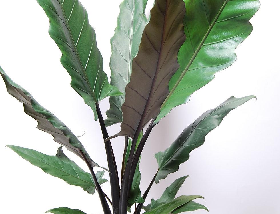 Alocasia Lauterbachiana pot de 12cm