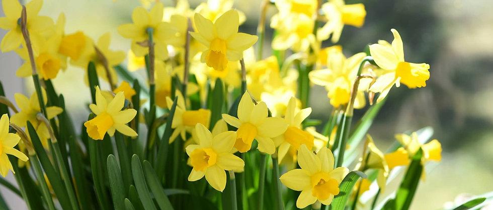 Narcissus-planter-cultiver3.jpg