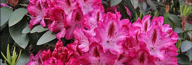 Rhododendron 'Etoile de Sleidinge'