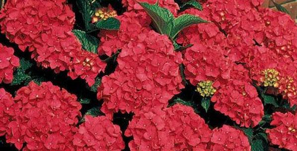 Hydrangea macrophylla 'Royal red'