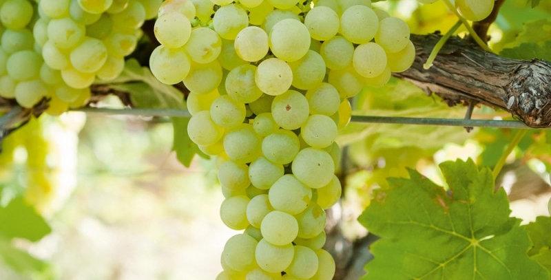 Vigne 'Chasselas Dorée'