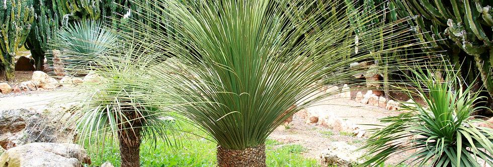 DASYLIRION serratifollium