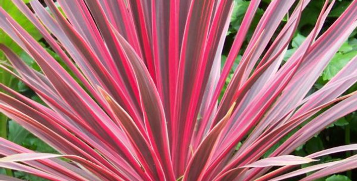 Cordyline Australis 'Charly Boy'