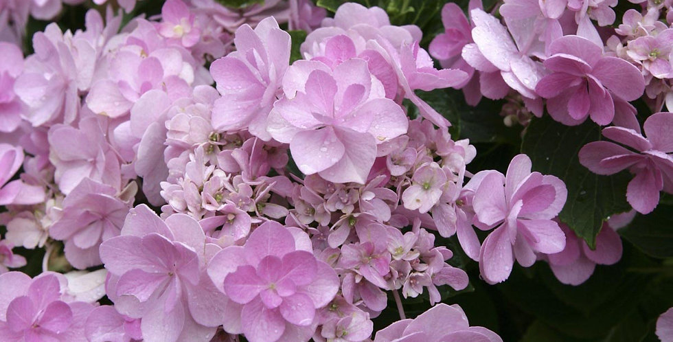 Hydrangea macrophylla 'You & Me Forever'