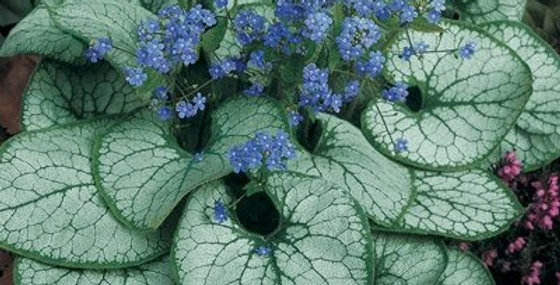 Brunera Macrophylla 'Jack Frost'