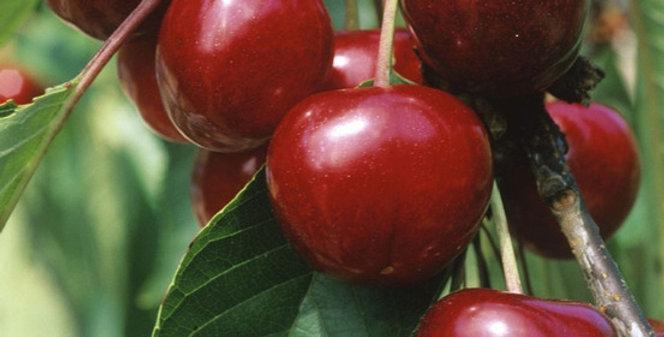 Cerisier Bigarreau Van