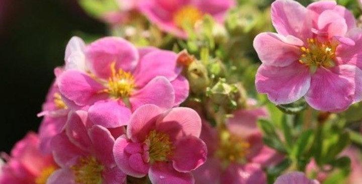 Potentilla 'Pink Paradis' (Cont 3.6L)