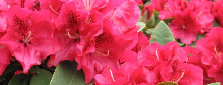 Rhododendron 'Wilgen's Ruby'
