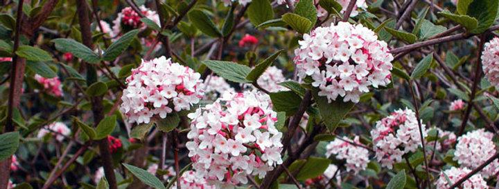 Viburnum x Burkwoodii (Viorne de Burkwood)