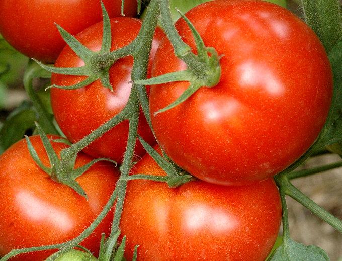 Tomate 'Maestria' godet de 8 cm (La barquette de 6 plants)