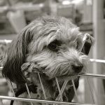Amazing Grace Dog
