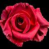rose07.png
