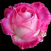 rose02.png