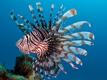 Lion Fish (koraalduivel) op Curacao