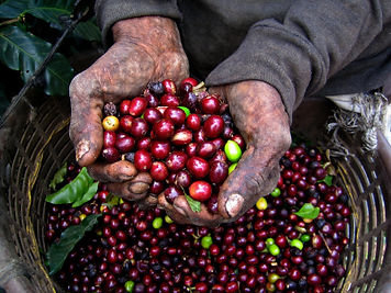 Organic Coffee Cherries