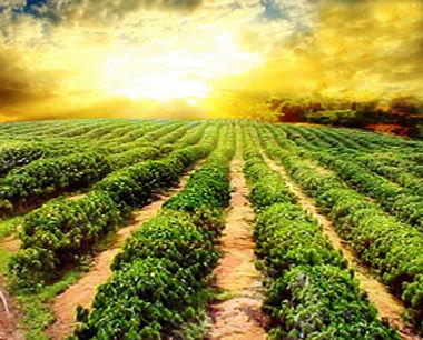 Sun-Grown Coffee