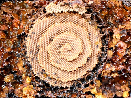 Stingless Bees - can these pollinators save our crops?