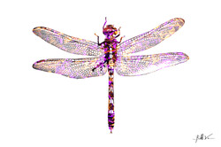 Dragonfly 1 24 x 36