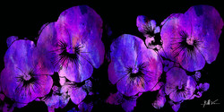 Purple Pansies 4 x 8.jpg