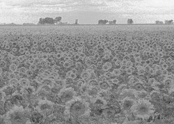 Metal Sunflower Field