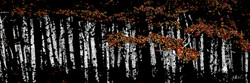 Aspens in a Row 16 x 48