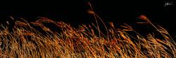 Blowing Wheat 4 x 12.jpg