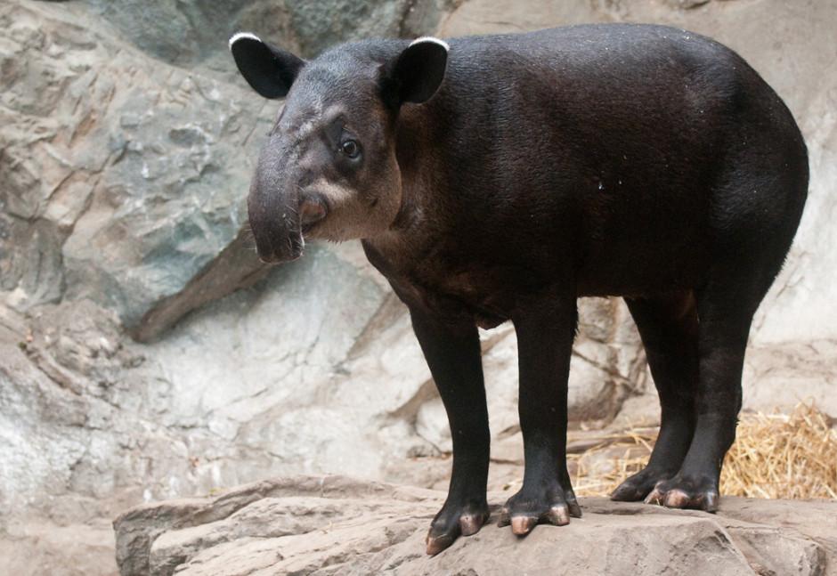 bairds-tapir