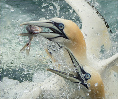 Gannets with fish