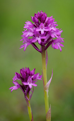 Pyramidal orchid pair