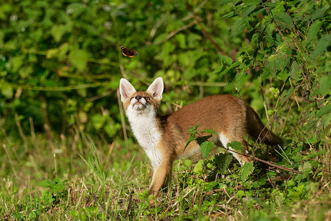 Fox cub and Red admiral