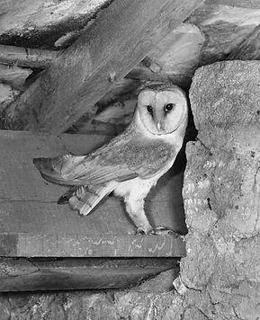 Harold Hems Barn owl.jpg