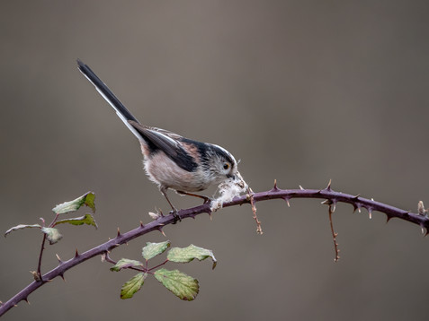 Long-tailed tit with nest material