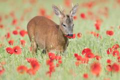 Roebuck in Poppies